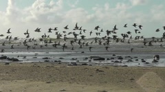 A flock of waders is flying low over the tideline Stock Footage