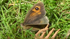 Female meadow brown butterfly moves around in grass and then flies off Stock Footage