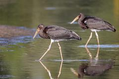 Stock Photo of Black stork Ciconia nigra young birds in the water shore area of the Elbe