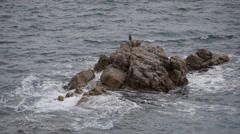 European Shag gets onto rock Stock Footage