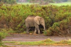 Young African bush elephant Loxodonta africana in early morning light Amboseli Stock Photos