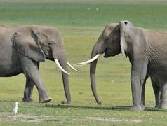 Stock Photo of Two African bush elephants Loxodonta africana in a swamp Amboseli National Park
