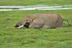 African bush elephant Loxodonta africana standing in the marsh and eating grass Stock Photos