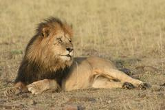 Stock Photo of Male lion Panthera leo with a dark mane in the morning light black maned lion