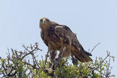 Tawny eagle Aquila Rapax with prey Maasai Mara National Reserve Narok County Stock Photos