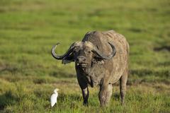 Stock Photo of African buffalo or cape buffalo Syncerus caffer in the swampland Amboseli Kenya