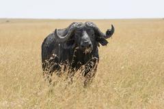 Stock Photo of Old african buffalo cape buffalo Syncerus caffer in the tall grass Maasai Mara
