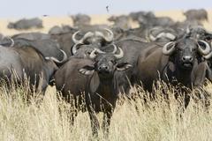 Stock Photo of Herd of African buffalo or cape buffalo Syncerus caffer Maasai Mara National