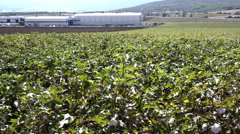 4K Cotton field wide panning shot,industrial,agriculture Stock Footage