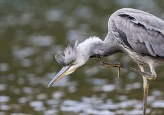 Young Grey Heron Ardea cinerea scratching itself Hesse Germany Europe - stock photo