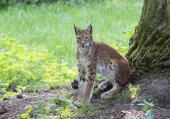 Stock Photo of Lynx Lynx lynx sitting on a tree trunk portrait captive Hesse Deutschland