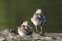 Egyptian geese Alopochen aegyptiacus chicks resting on a tree trunk Hesse - stock photo
