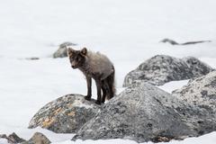 Arctic fox Vulpes lagopus in the snow Spitsbergen Norway Europe Stock Photos