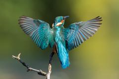 Stock Photo of Common kingfisher Alcedo atthis approaching a branch wings spread Hesse Germany