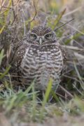 Stock Photo of Burrowing Owl Athene cunicularia Florida USA North America