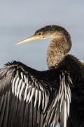 Anhinga Anhinga anhinga with open wings Sanibel Island USA North America Stock Photos