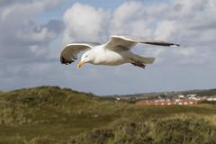 European herring gull Larus argentatus in flight with town Texel West Frisian - stock photo