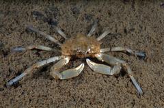Spider Crab Pugettia quadridens Sea of Japan Rudnaya Pristan Primorsky Krai - stock photo