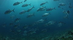 School of Giant Trevally Stock Footage