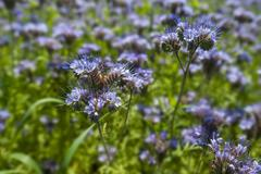 Bee pasture lacy phacelia blue tansy or purple tansy Phacelia tanacetifolia in Stock Photos