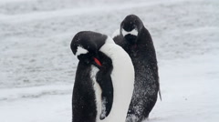 Penguins cleaning in the snow - stock footage