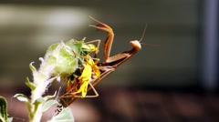 Stock Video Footage of A brown praying mantis with arms outstretched sits on a flower.