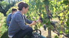 Young people in vineyard during harvest season Stock Footage
