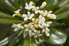 Japanese pittosporum mockorange or cheesewood Pittosporum tobira prevalent in - stock photo