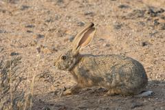Cape hare Lepus capensis Kalahari Desert Namibia Africa Stock Photos