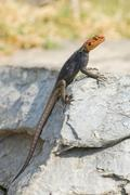 Stock Photo of Agama Agama agama Windhoek Namibia Africa