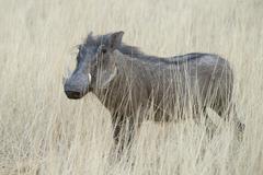 Warthog Phacochoerus africanus in the tall dry grass Okapuka Ranch Windhoek - stock photo