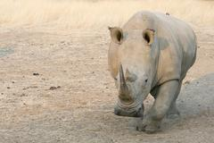 Stock Photo of White Rhinoceros Ceratotherium simum frontal view Okapuka Ranch District