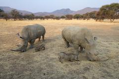 Stock Photo of White rhinos Ceratotherium simum and warthogs Phacochoerus africanus grazing