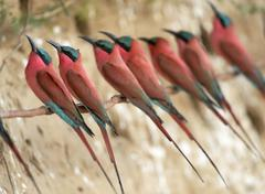 Southern Carmine Bee eaters Merops nubicoides at the breeding wall steep shore - stock photo