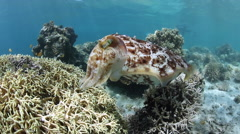 Stock Video Footage of Cuttlefish Laying Eggs