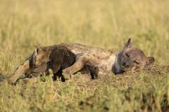 Stock Photo of Spotted Hyena Crocuta crocuta female with young suckling Maasai Mara National