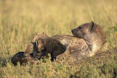 Stock Photo of Spotted Hyena Crocuta crocuta female suckling pups Maasai Mara National Reserve
