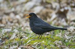 Blackbird Turdus merula male calling Thuringia Germany Europe Stock Photos