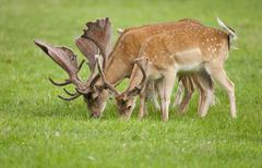 Fallow Deer Dama dama with velvet antlers grazing in a meadow captive Bavaria Stock Photos