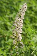 White Butterbur Petasites albus infructescence Thuringia Germany Europe - stock photo