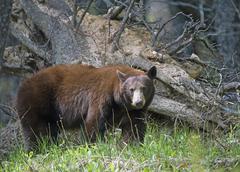 Stock Photo of American black bear Ursus americanus Waterton Lakes National Park Alberta