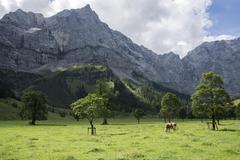 Stock Photo of Cow between maple trees Ahornboden Eng Eng Alm Lamsenspitze rear left Karwendel