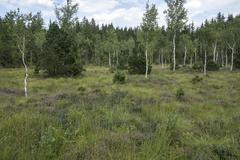 Stock Photo of Birch trees Betula sp heather Erika and typical vegetation in the bog Murnau