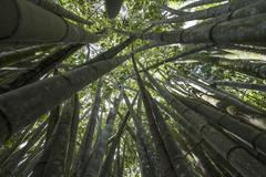 Giant Bamboo or Dragon Bamboo Dendrocalamus giganteus Le Jardin du Roi Mahe Stock Photos