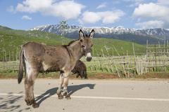 Stock Photo of Donkey Equus africanus asinus with forelegs tied up mountains at Lake Prespa