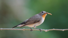 Bird Red-throated Flycatcher (Ficedula albicilla) eating a worm in tropical Stock Footage