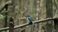 Collared kingfisher (Todiramphus chloris) in nature Stock Footage