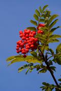 Stock Photo of Mountain ash or Rowan Sorbus aucuparia with ripe fruit Scania Sweden Europe