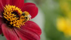Shallow DOF bee over deep red color dahlia flower in the garden 4K 2160p 30fps Stock Footage
