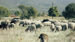4K UHD Free range farming,flock of sheep grazing in the Greek countryside - stock footage